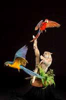 Taking Flight - Taxidermy FOR SALE