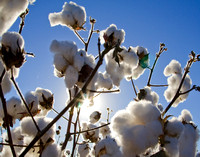 Clouds of Cotton