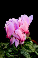 Cyclamen is a perennial native to Europe and east to Iran.